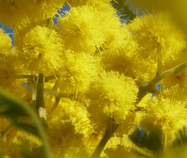 mimosa-1024x868