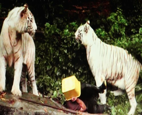 sbranato dalle tigri
