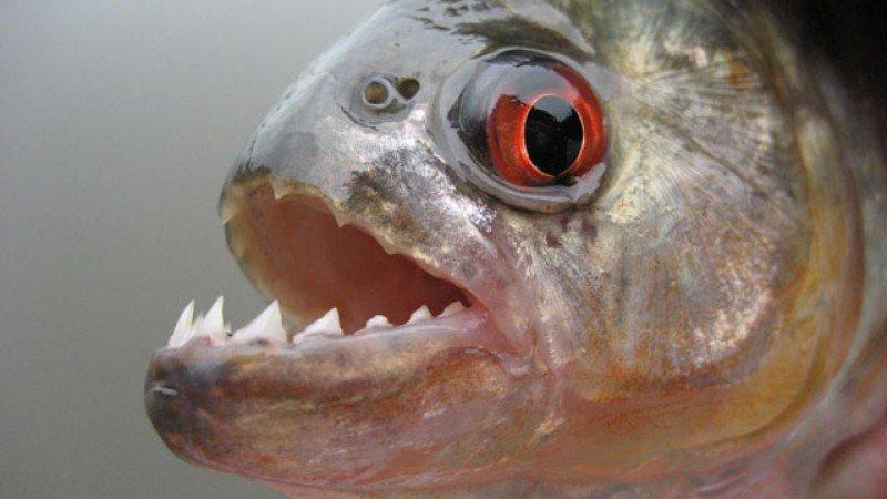 Adrila Muniz divorata dai piranha